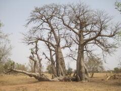 三叉のバオバブの木